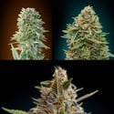 Automatik Mix (Advanced Seeds) feminizada