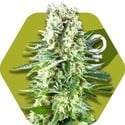 White Widow XL (Zambeza) feminizada