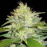 La Musa (Delicious Seeds) feminizada