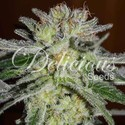 Northern Light Blue (Delicious Seeds) feminizada