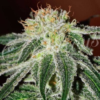 Black Russian (Delicious Seeds) feminizada