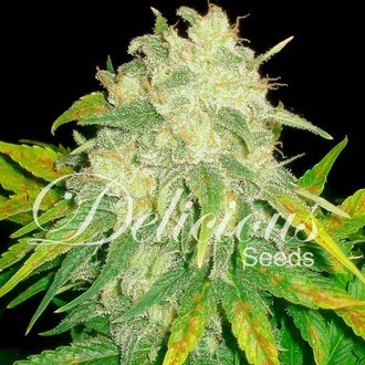 Il Diavolo (Delicious Seeds) feminizada