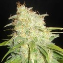 Critical Yumbolt (Delicious Seeds) feminizada