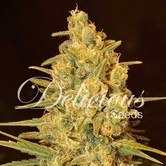 Critical Sensi Star (Delicious Seeds) feminizada