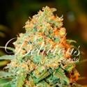 Critical Super Silver Haze (Delicious Seeds) feminizada