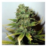 Super Skunk (Nirvana Seeds) feminizada