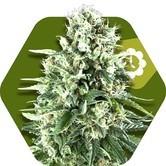 Super Silver Haze Autoflowering (Zambeza) feminizada