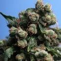 Sage 'N Sour (T.H. Seeds) feminizada