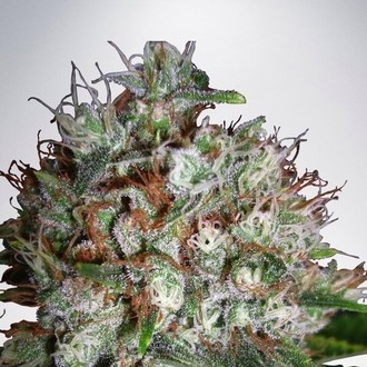 Big Bud XXL (Ministry of Cannabis) feminizada