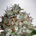Big Bud XXL (Ministry of Cannabis) feminizada