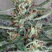 Crystal Cloud (Ministry of Cannabis) feminizada