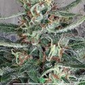 Crystal Cloud (Ministry of Cannabis) feminizada