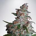 Northern Lights MOC (Ministry of Cannabis) feminizada