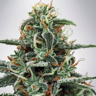White Widow (Ministry of Cannabis) feminizada