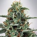 White Widow (Ministry of Cannabis) feminizada