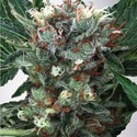 Zensation (Ministry of Cannabis) feminizada