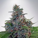 Auto Blue Amnesia (Ministry of Cannabis) feminizada