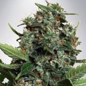 Autopilot XXL (Ministry of Cannabis) feminizada