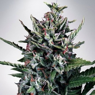 Auto Silver Bullet (Ministry of Cannabis) feminizada