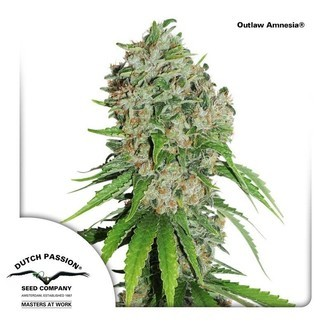 Outlaw Amnesia (Dutch Passion) feminizada