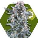 Blueberry Autoflowering (Zambeza) feminizada