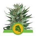 Royal Cheese Automatic (Royal Queen Seeds) feminizada