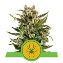 White Widow Automatic (Royal Queen Seeds) feminizada