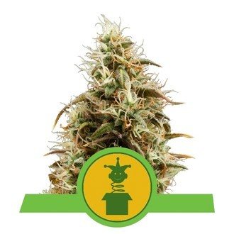 Royal Jack Automatic (Royal Queen Seeds) feminizada