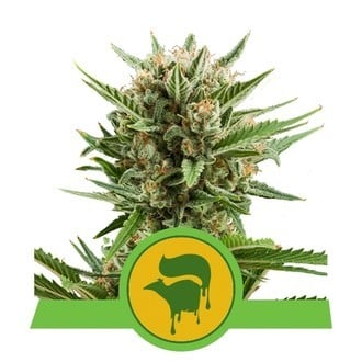 Sweet Skunk Automatic (Royal Queen Seeds) feminizada