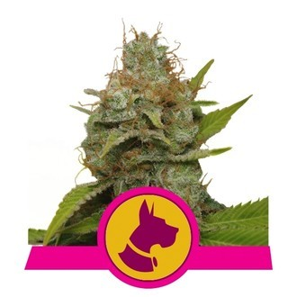 Kali Dog (Royal Queen Seeds) feminizada