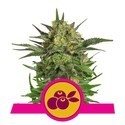 Haze Berry (Royal Queen Seeds) feminizada