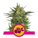 Haze Berry (Royal Queen Seeds) feminizada