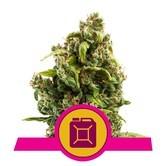 Sour Diesel (Royal Queen Seeds) feminizada