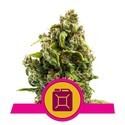 Sour Diesel (Royal Queen Seeds) feminizada