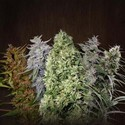 ACE Mix (ACE Seeds) feminizada