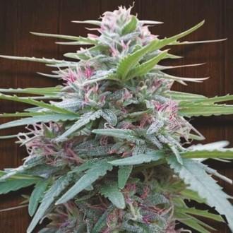 Panama (ACE Seeds) feminizada