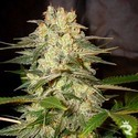 Afghan Kush Ryder (World Of Seeds) feminizada