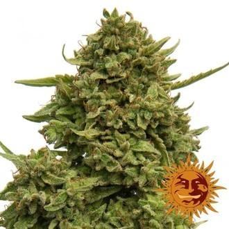 Pineapple Chunk (Barney's Farm) feminizada