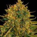 Northern Light x Big Bud Ryder (World Of Seeds) feminizada