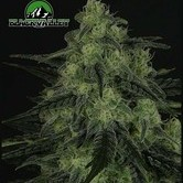Black Valley (Ripper Seeds) feminizada