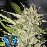 Hawaiian Wave (Ripper Seeds) feminizada