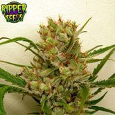 Ripper Haze (Ripper Seeds) feminizada
