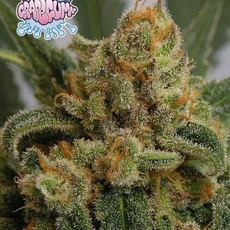 Grapegum (Ripper Seeds) feminizada