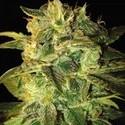 Sugar Mango Ryder (World Of Seeds) feminizada