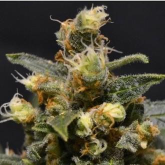 AK (CBD Seeds) feminized