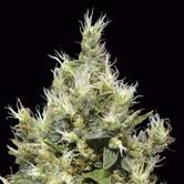 Northern (CBD Seeds) feminizada