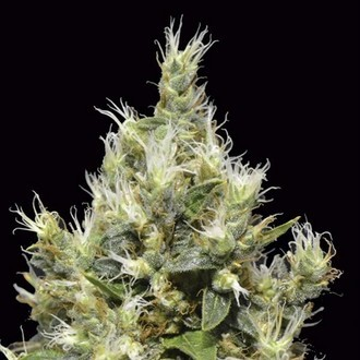 Northern (CBD Seeds) feminizada