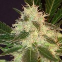 Widow (CBD Seeds) feminizada