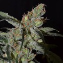 Shark (CBD Seeds) feminizada