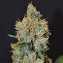 Lavender (CBD Seeds) feminizada